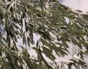 Willow leaves in the wind, western Nebraska by the Wyoming border.