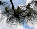 Mexican Pine needle sillhouette, Sierra Madres Occidental, Mexico