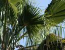 California Fan Palm, Chapala, Mexico
