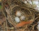 Cardinal eggs, Lewisville, Texas