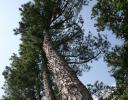 Longleaf Pine - Raleigh, NC, U.S.A.