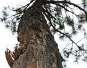 Oaxaca Pine, Sierra Madres Mountains, Mexico