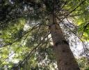 White Pine - Nepean, ON, Canada